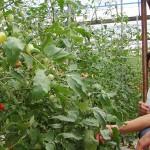 多度津トマト農家と